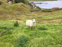 Shetland Sheep – Baaa!