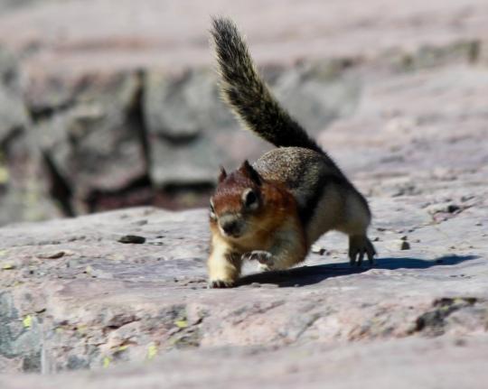 Golden Mantle (?) Squirrel